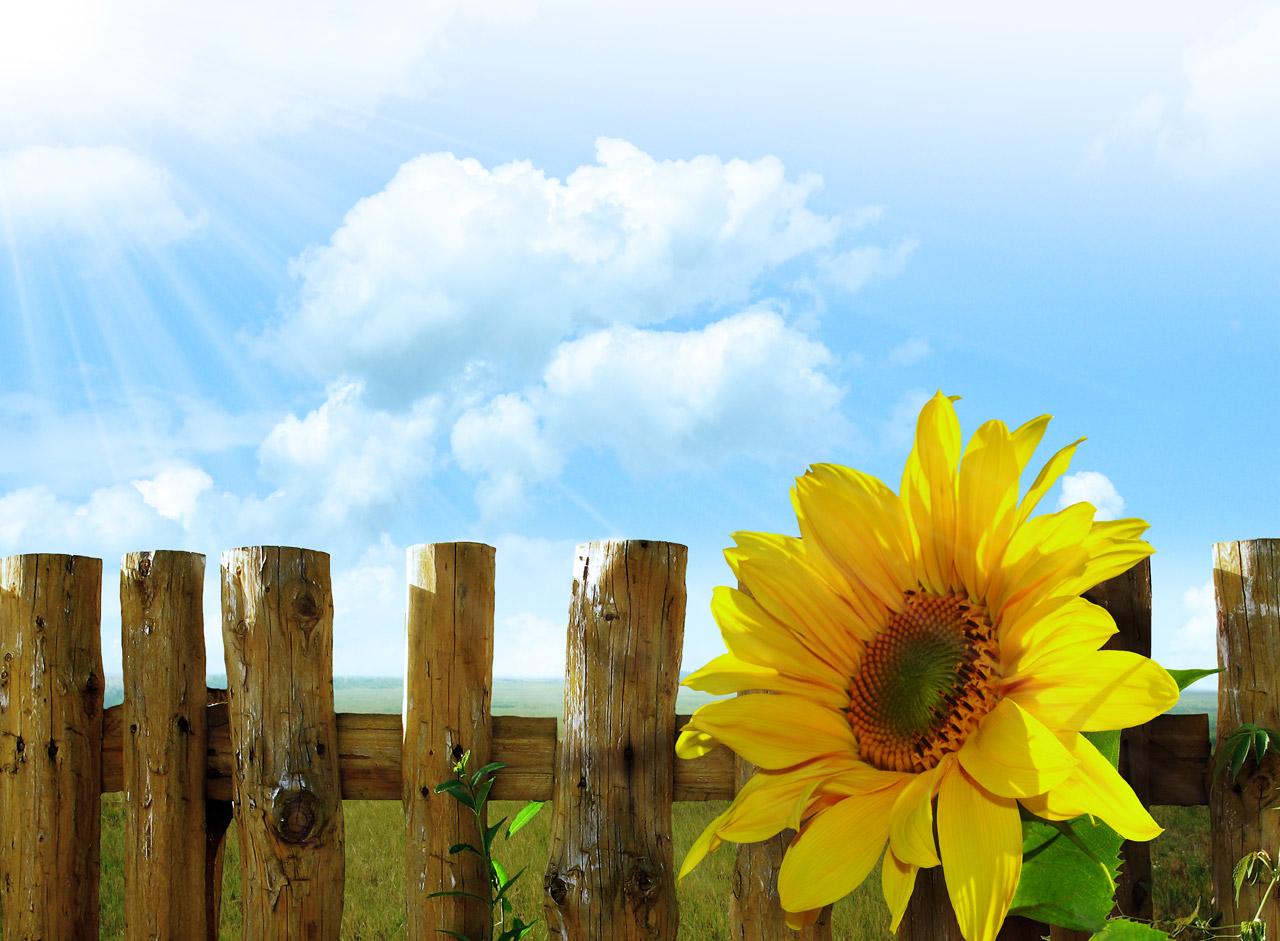 fleur-tournesol-saisons-été-jaune-rayon-soleil